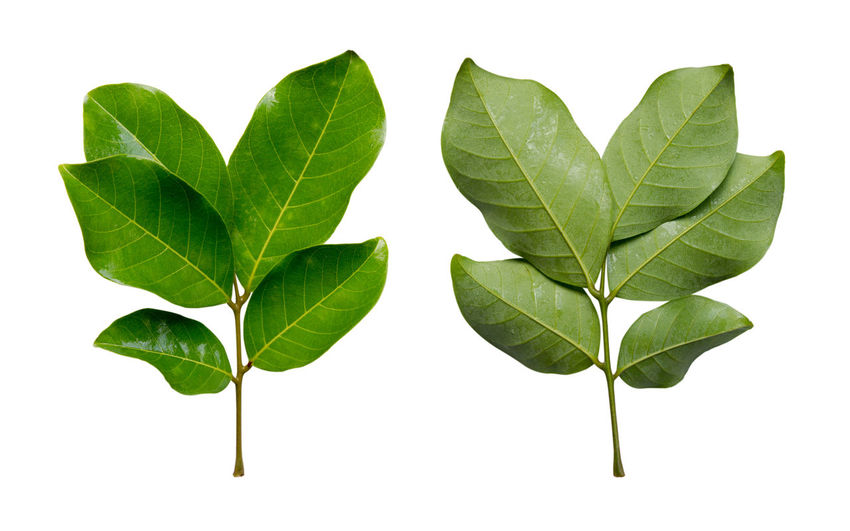 Front and back Rambutan leaves isolated on white background. Clipping path. Back Green Color Isolated Leafs Nature Rambutan Clipping Path Front View Leaves