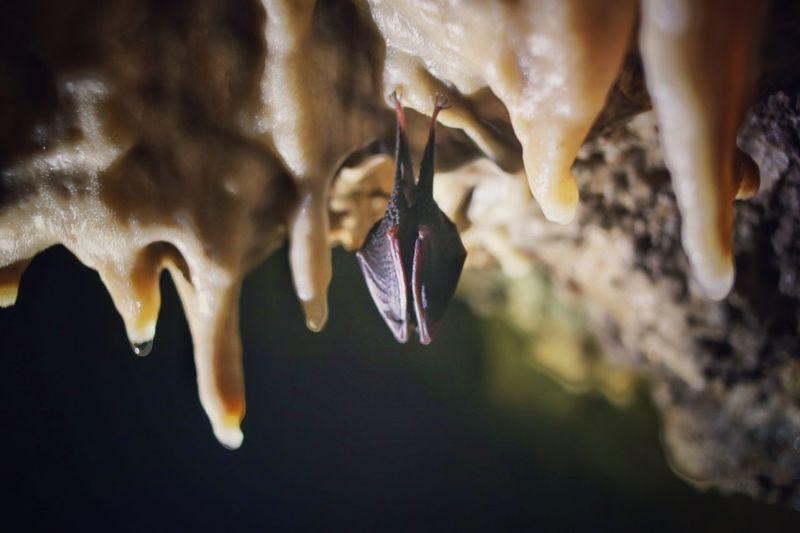 Batman Sleep Hibernation Speleo Cave Deep Wild Climbing Speleoworld Speleology Bat Batman Animal Themes Close-up Bat - Animal