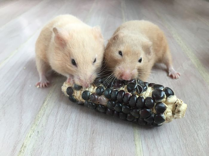 Hamster Mouse Animal Themes Animal Pets Cute Two Animals