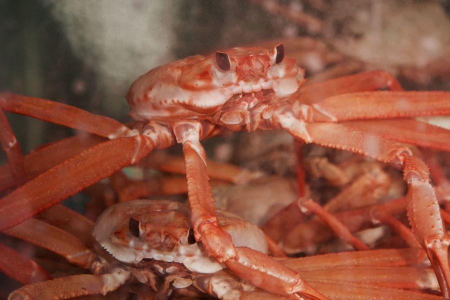 Animal Themes Close-up Crustacean Focus On Foreground Food Freshness Giant Crab No People Red Crab Sea Life Seafood