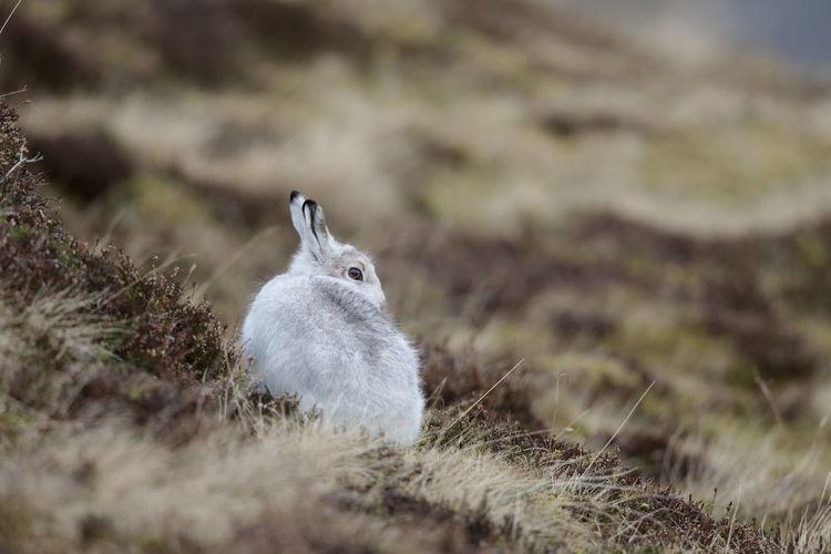 A mountain hare