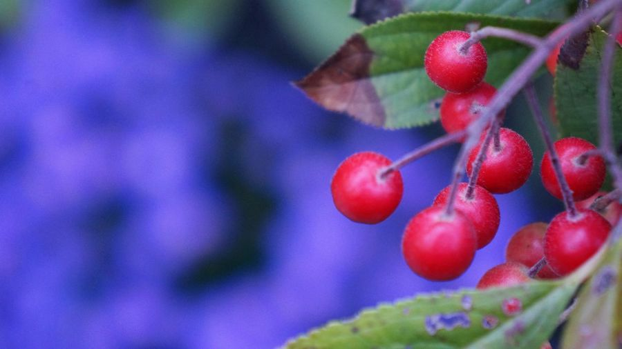Aronia in Autumn Aronia Autumn Copy Space Red Aronia Berries Berry Fruit Close-up Day Focus On Foreground Food Food And Drink Freshness Fruit Growth Healthy Eating Leaf Nature No People Outdoors Plant Plant Part Red Color Ripe Selective Focus Wellbeing
