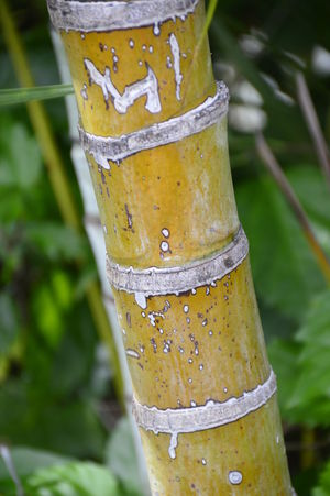 Bamboo Pole Bamboo Grove Bamboo Plant Nature Plant Bamboo Bamboo Material Bamboo Pole Close Up Long Round Tall - High Traditional
