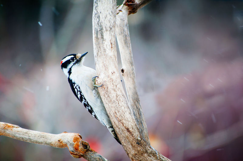 Close-up of a downy woodpecker  perching on tree