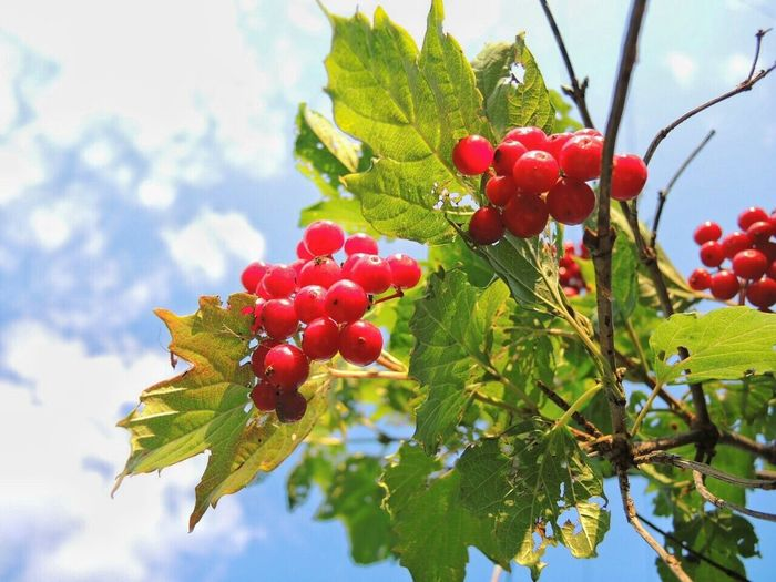 Food And Drink Fruit Growth Red Food Sky Leaf Freshness Nature Beauty In Nature Day Berry Cherry Tree Green Color Cloud - Sky Cloud калина калина красная небо облака