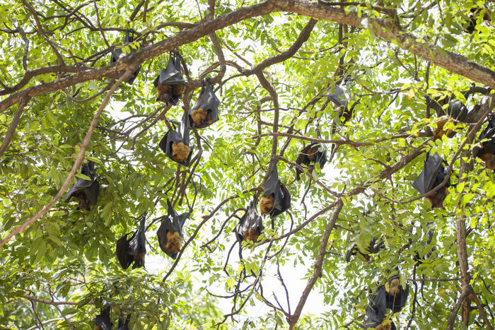 Foxbats in Thailand ASIA Bat Thailand Animal Themes Animal Wildlife Animals In The Wild Beauty In Nature Branch Day Forest Forest Photography Fox Fox Bat Foxbat Fruit Hanging Leaf Mammal Nature No People Outdoors Rare Tree