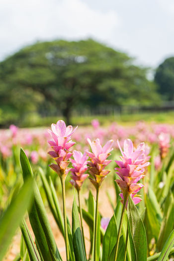 Pink Siam Tulip