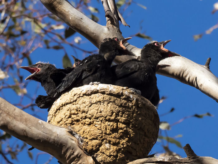 White-winged Chough (Corcorax melanorhamphos). Multiple chicks in a nest. Animal Themes Animal Animals In The Wild Bird Animal Wildlife Tree Vertebrate Branch Nature No People Perching Focus On Foreground Low Angle View Day Plant Sunlight Outdoors Sky Beak Chicks In Nest
