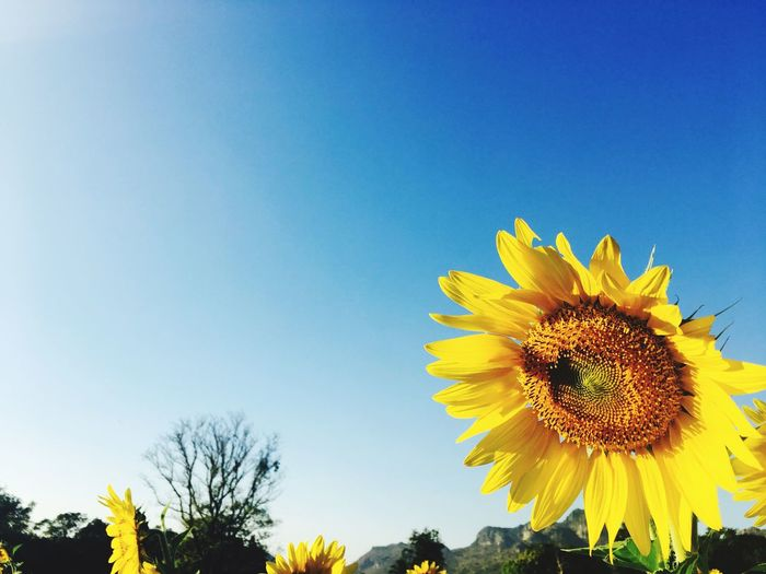 Flower Yellow Nature Growth Beauty In Nature Petal Clear Sky Freshness Sunflower Plant Sky No People