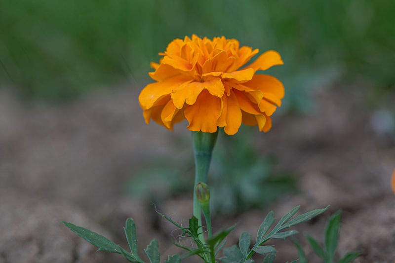 African Mexican Tagetes Agriculture American And ASIA Aztec Background Beautiful Beauty Blooming Blossom Botanical Botany Buy Colour Colorful Decoration Erecta Field Flora Floral Flower French Fresh Garden Gold Golden Green Growing Light Marigold Natural Nature Orange Park Plant Season  Spring Varieties Vibrant Yellow Zinnia