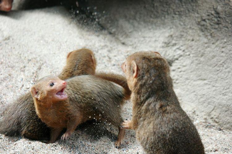 Mongoose Playing