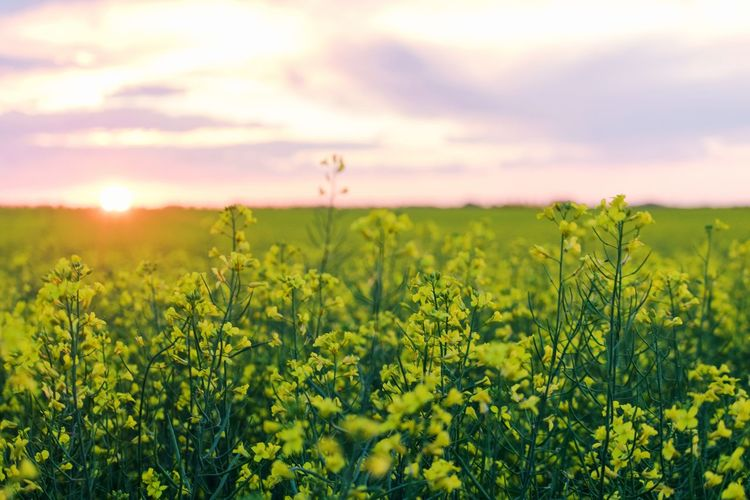 canola field Canola Canada Outdoors EyeEm Selects Outdoors Photograpghy  Photography Landscape Canadian Flower Flower Head Rural Scene Sunset Oilseed Rape Yellow Agriculture Tree Springtime Plant Life Botany