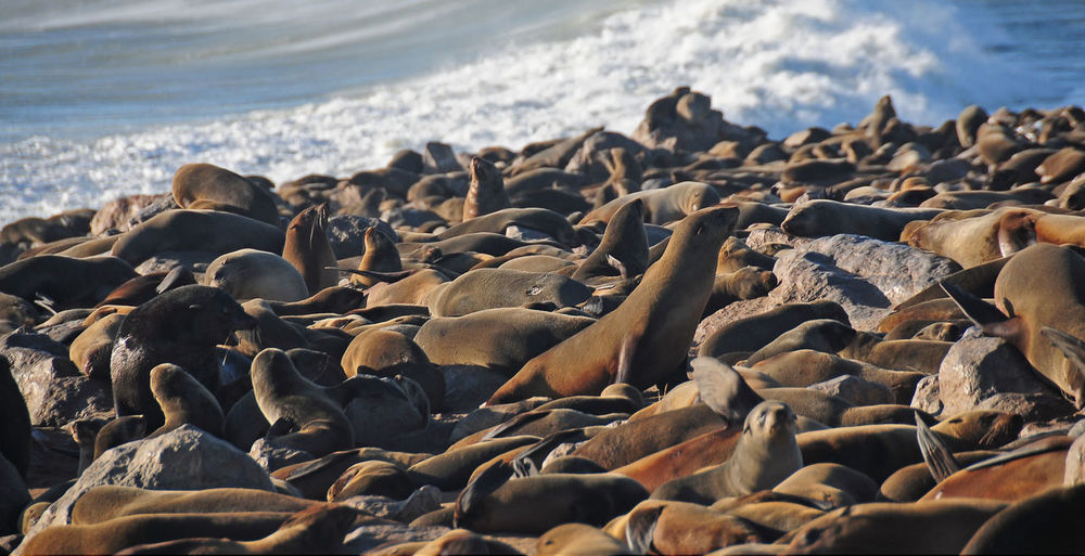Namibia Sea Beach Land Water Large Group Of Animals Animal Wildlife Animal Themes Animal Animals In The Wild Group Of Animals Nature Day No People Mammal Abundance Beauty In Nature Rock Vertebrate Colony Marine Pebble Sealion