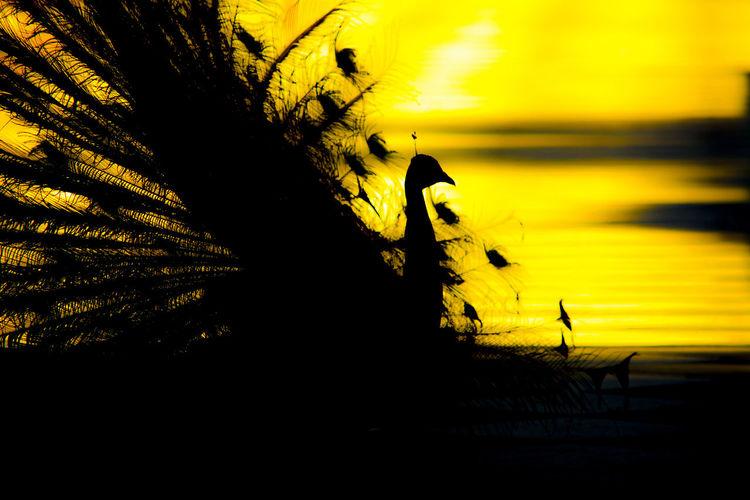 Ave Bird Contraluz Leigh Nature Pajaro Pavo Pavo Real Pavone Perfil Sadows Silhouette Siluette Sunset Yellow