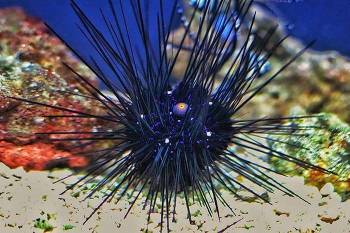 Spiky! @thafluffin8or Spiky Spike Aquarium Baltimoreaquarium Underwater Sea Seacreature Seacreatures Noflash Nofilter Cool Animal Animals