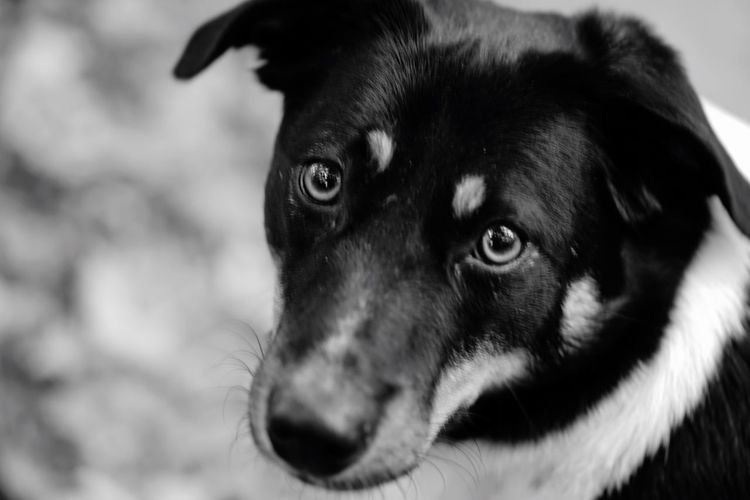 One Animal Animal Themes Dog Domestic Animals Close-up Animal Head  Pets Focus On Foreground Mammal Looking At Camera Snout No People Animal Nose Zoology Loyalty Animal Black And White Black & White Mans Best Friend SONY A7ii F2.8 Macro Lens My Best Friend Looking At Camera My Dog
