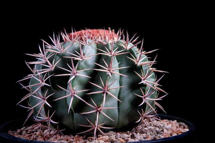 Close-up of cactus flower pot against black background