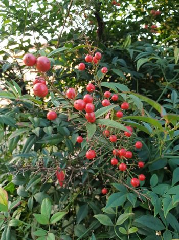 Berries in the bush... Majesty in the mundane... Berry Berries And Leaves Berry Fruit Tree Fruit Leaf Red Agriculture Plant Food And Drink Green Color