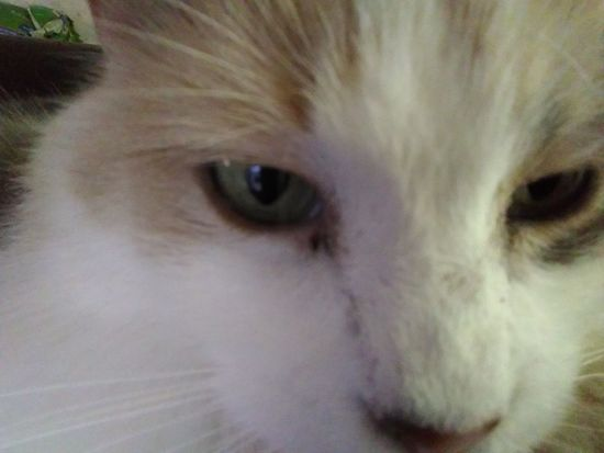 Veronica the cat. Selfie. One Animal Close-up Domestic Animals Animal Head  Cat Mammal Pets Portrait Whisker Domestic Cat Feline Animal Eye Extreme Close Up Cat Photography Cat Lovers Kitty Cat Calico Cat Cat Selfie Cat Selfie... Fluffy Cat Maine Coon Cat Dilute Calico Cat Dilute Calico Whiskers Animal Themes