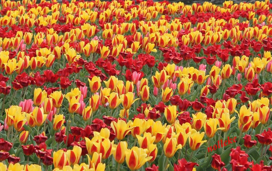 Streamzoofamily Flowerforfriends Floralperfection Tulips
