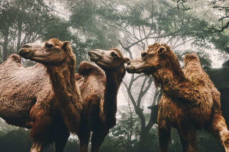 The camels pose Foggy Animal Photography EyeEm Best Shots Group Of Animals Animal Animal Themes Mammal The Traveler - 2018 EyeEm Awards Animal Wildlife My Best Photo