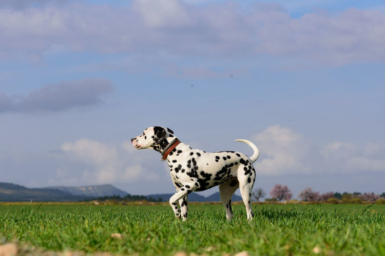 View of a dalmatian dog on landscape