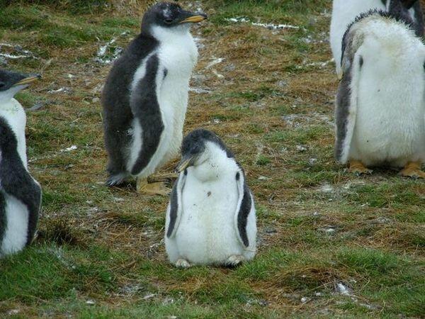 Gentoo Penguin Chick Sleep
