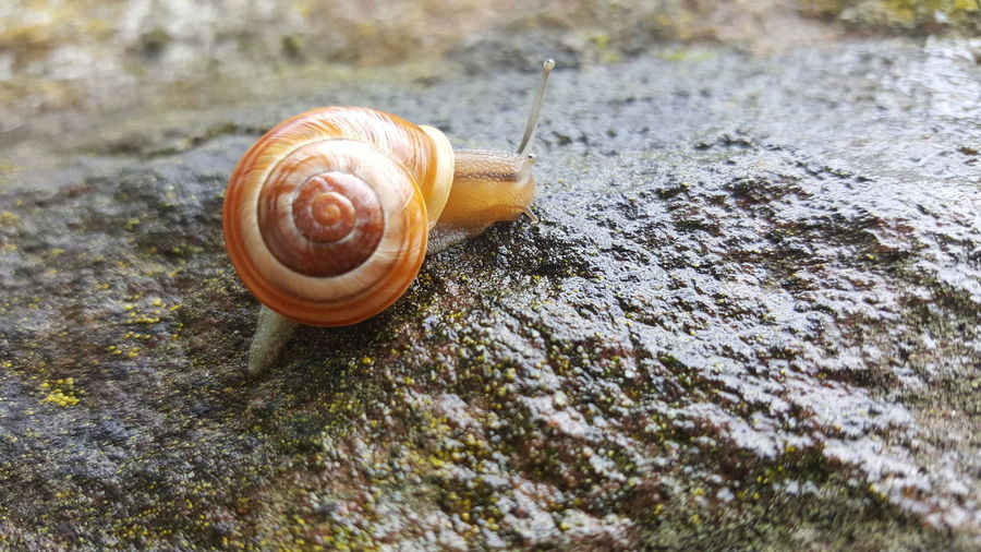 Close-up of snail on wet rock