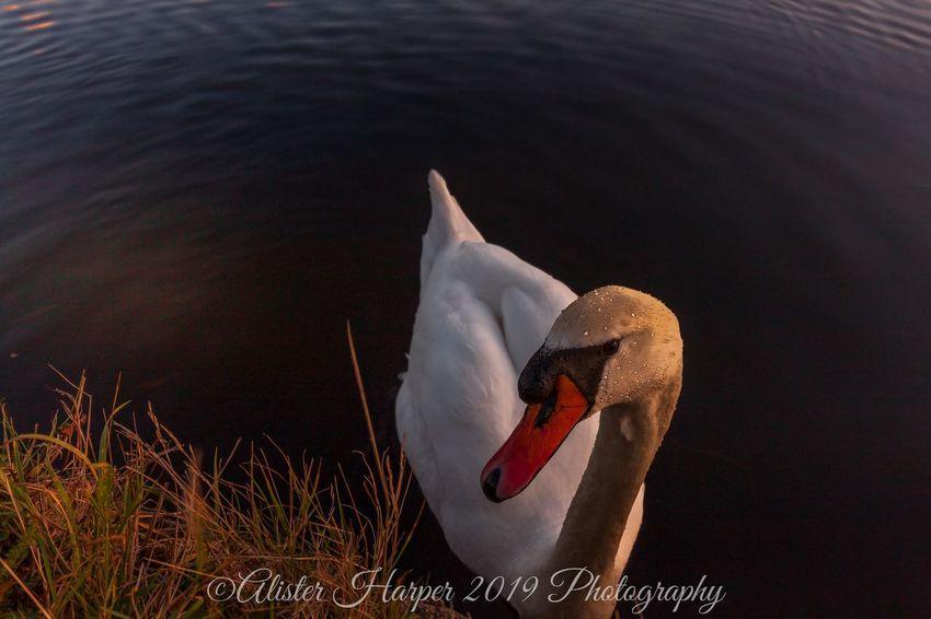 Bird UnderSea Sea Life Close-up Swan White Swan Animal Neck Swimming Animal Beak Mute Swan Water Bird Swimming