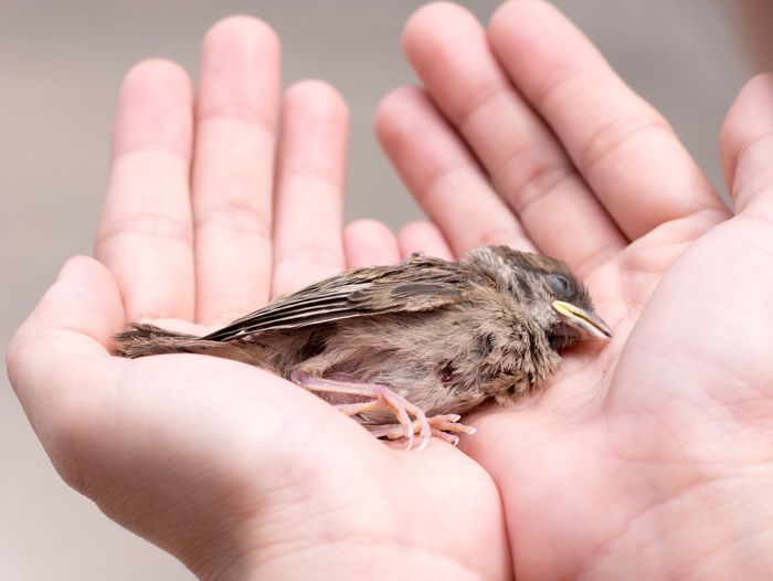Close-up of a hands holding dead baby sparrow