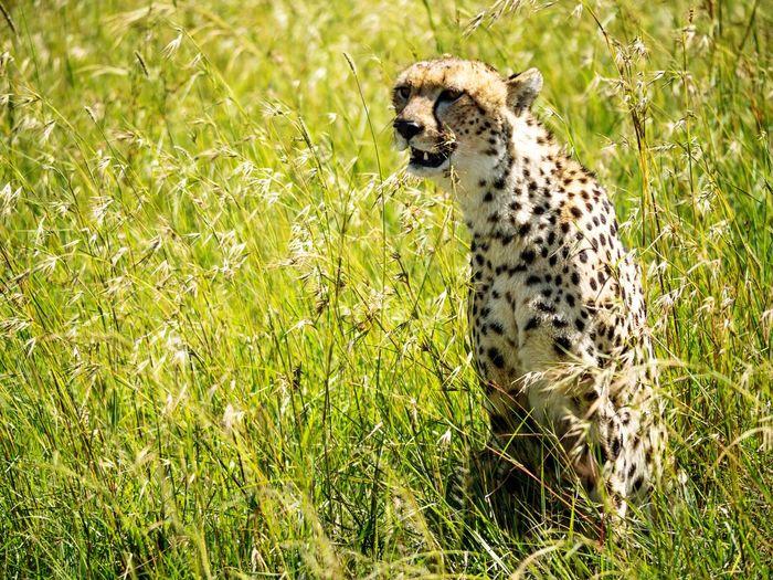 Meerkat on grass