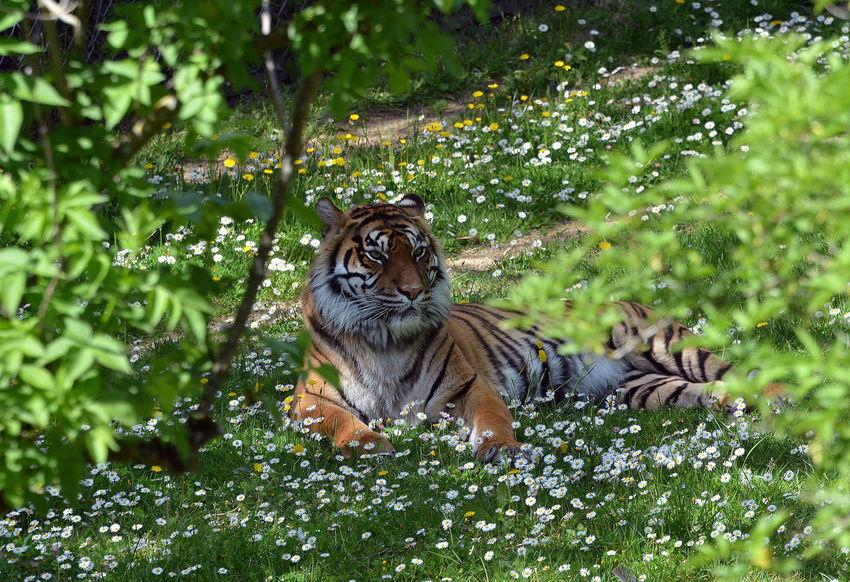 Animal Themes Animals In The Wild Feline Portraits Felino Felins Nature One Animal Tiger Tigre