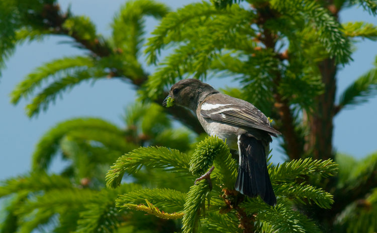 Bird Photography Fir Branch Green Nature Tree Wildlife & Nature Wildlife Photography Bird Bird Watching Fir Forest Forest Wildlife