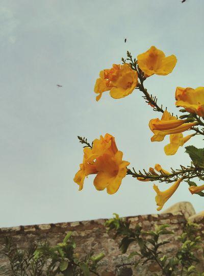 Lemon By Motorola new flower