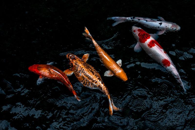 Koi carps swimming in sea