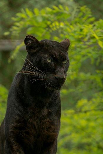 Black Panther Pantere Noir Animals Animaux Zoo Gironde France Photos Around You