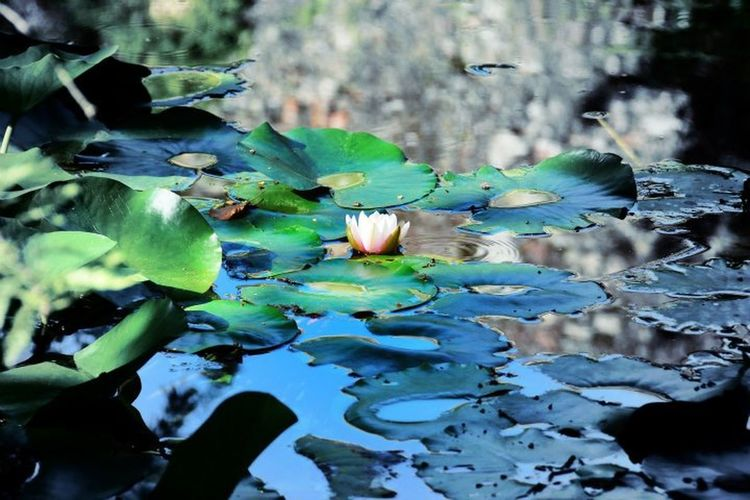 Beauty In Nature Fragility Lake Lotoflower Nature Reflection Water