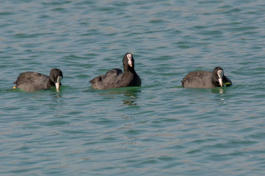 Eurasian coot (Fulica atra) over the water background Animal Themes Animal Wildlife Animals In The Wild Bird Day Eurasian Coots Lake Nature No People Outdoors Swimming Togetherness Water Waterfront Young Animal Young Bird