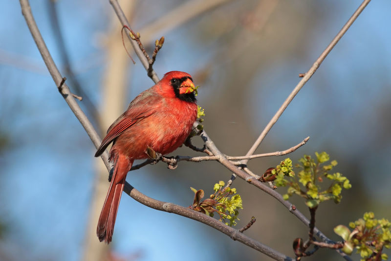 Northern Cardinal Animal Themes Av Avian Beauty In Nature Bird Branch Close-up Focus On Foreground Growth No People Northern Cardinal Outdoors Perching Selective Focus Sky Tree Wildlife
