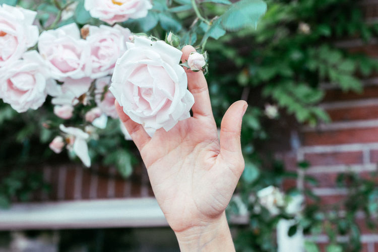 Close-up of hand touching rose on plant in park