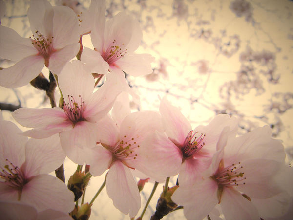 Beauty In Nature Blossom Cherry Blossom Cherry Blossoms Cherryblossom Close-up Day EyeEm Nature Lover Flower Flower Head Fragility Freshness Growth Nature No People Outdoors Petal Pink Color Spring Stamen Tree