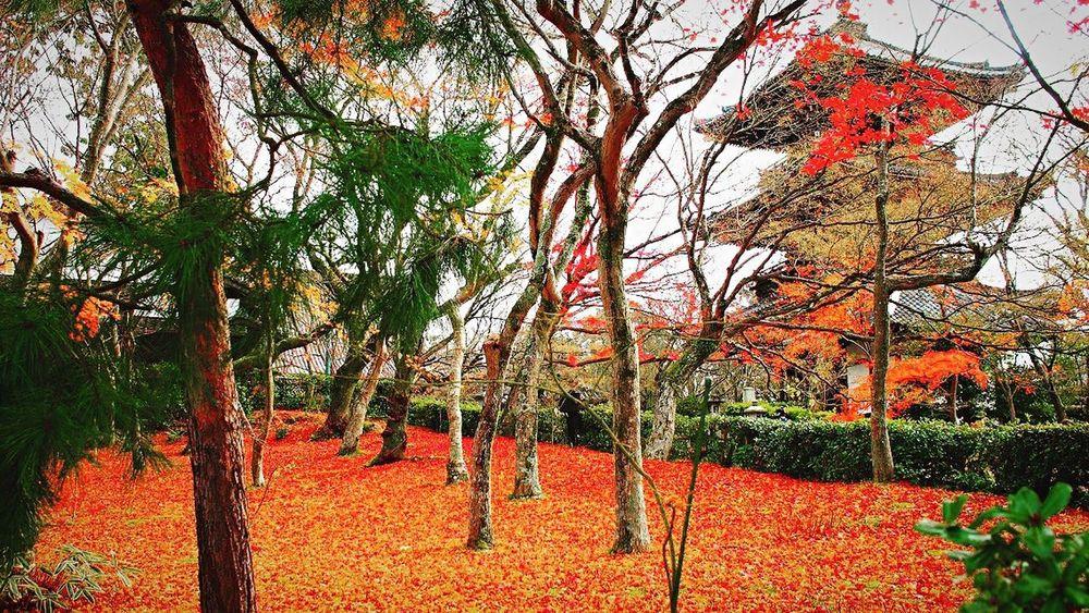 真如堂 真正極楽寺 Kyototravel Kyoto,japan Kyoto Autumn Leaves Autumn Colors Autmn 京都 Tree Growth Nature Branch Beauty In Nature Outdoors Bare Tree