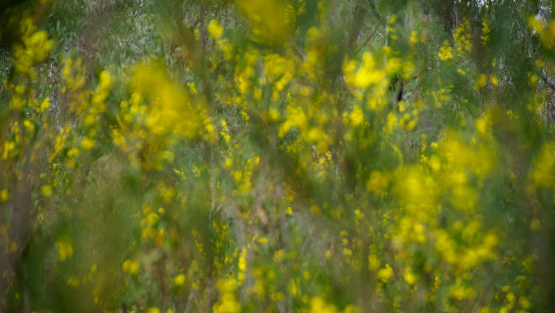 Wattle Wattle Flower Blurred Motion Yellow Plant Beauty In Nature Backgrounds Nature No People Green Color Day Outdoors Defocused Sunlight Vibrant Color Freshness Flower Land Springtime
