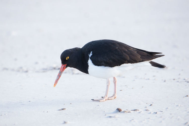Close-up of black bird on land