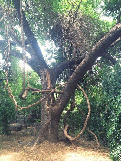 Ancient tree. Standing tall. Suren