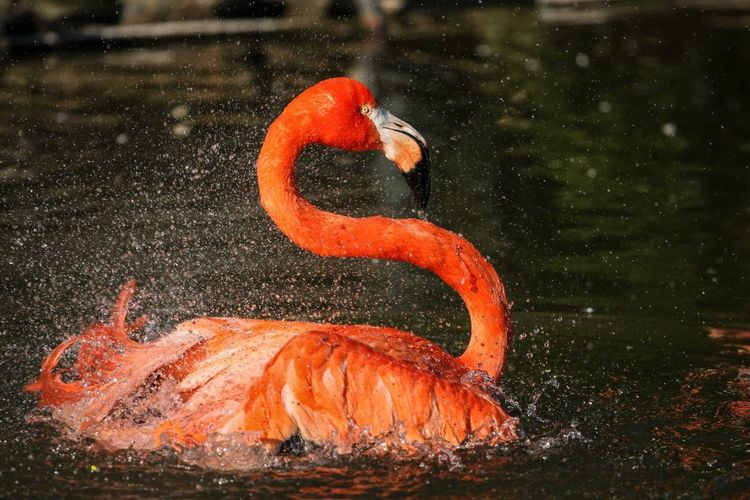 Orange Color Flamingo Water No People Animals In The Wild Outdoors Lake Nature Animal Themes Day Bird Close-up