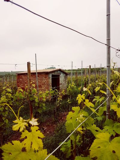 Growth Agriculture Outdoors Day No People Nature Rural Scene Beauty In Nature Vineyard Cultivation Langhe Piedmont Italy Small House Rural Building Brick Wall
