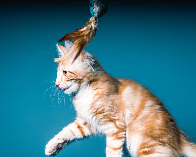 Close-up of a cat against blue background
