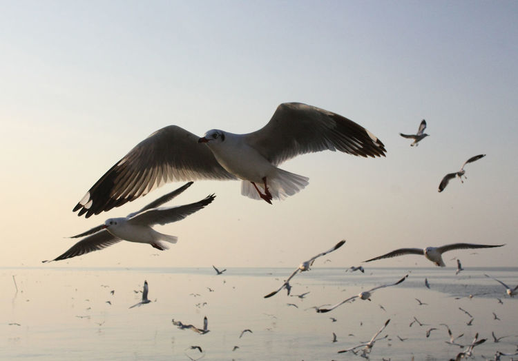 Animal Themes Animal Wildlife Animals In The Wild Beauty In Nature Bird Clear Sky Day Flying Large Group Of Animals Low Angle View Mid-air Motion Nature No People Outdoors Sky Spread Wings