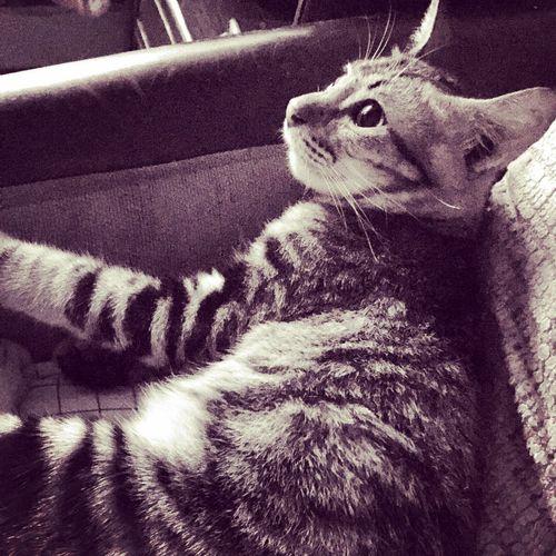 My little tabby Cat Lovers Tabbycats Tabbycatlovers Greytabby Cats Cats Of EyeEm Tabbylove
